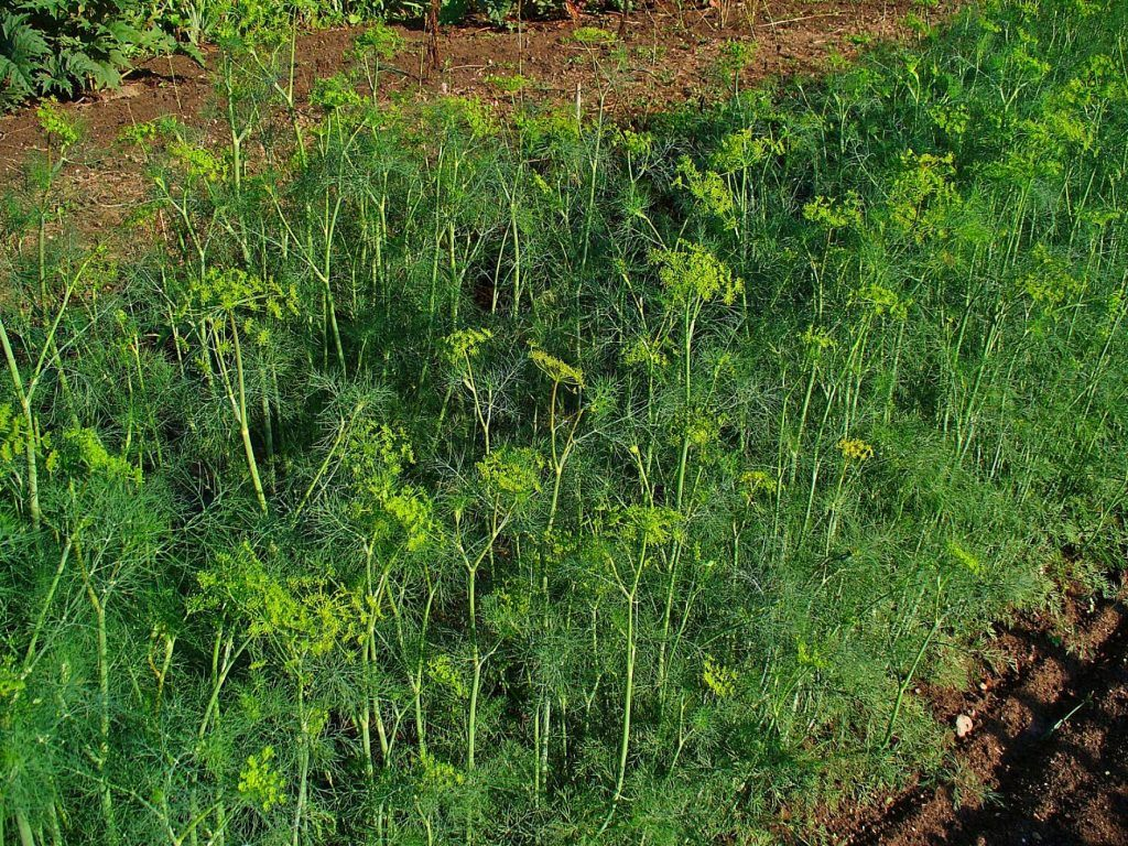 Different Types Of Dill Plants