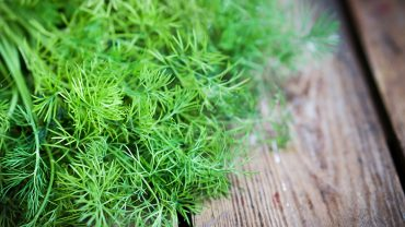 Types of Dill Plants