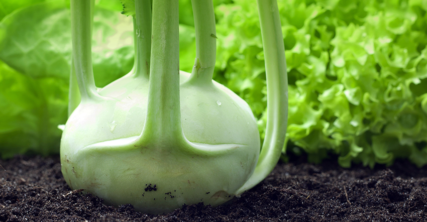 Grow Kohlrabi in Organic Garden