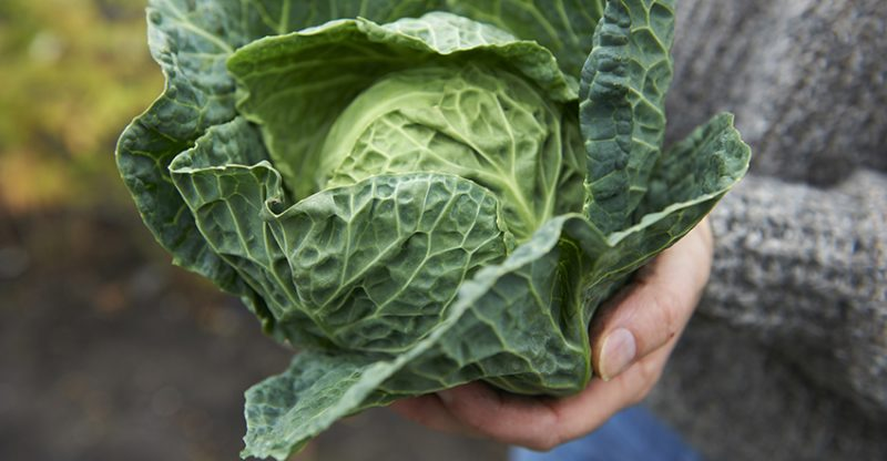 Cabbage Grown