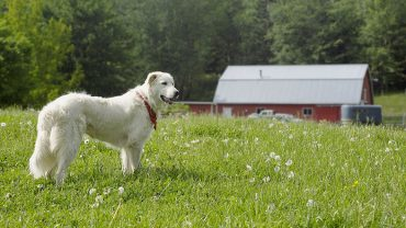 Which Sheepdog is Right for You