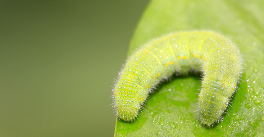 Diamondback Moth Larvae
