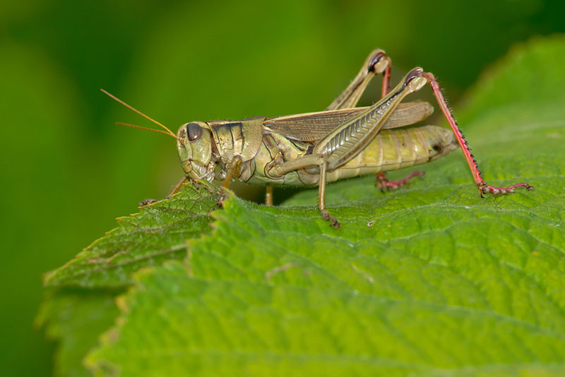 Grasshopper is Eating The Leaves