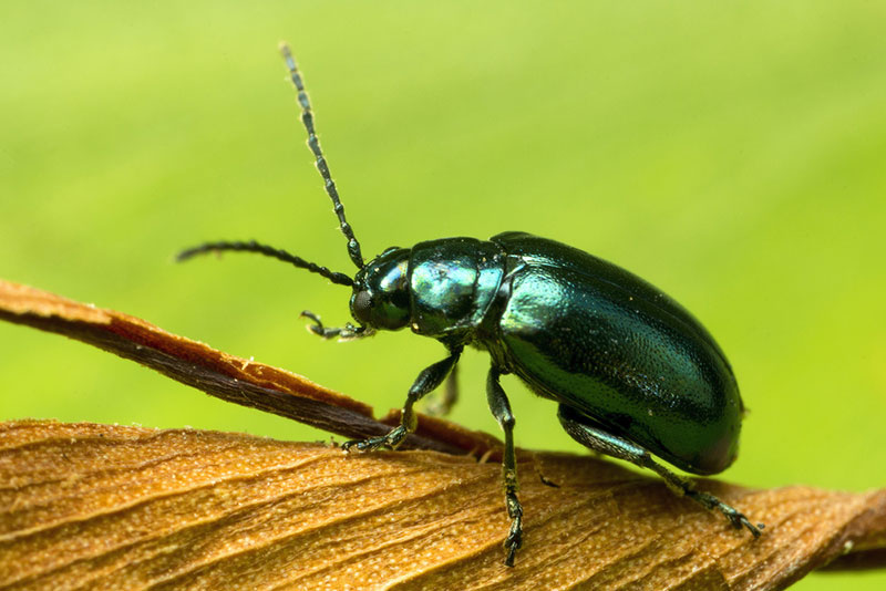 Green Shiny Flea Beetle