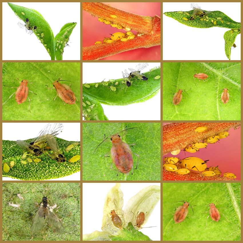 Kinds of Aphids