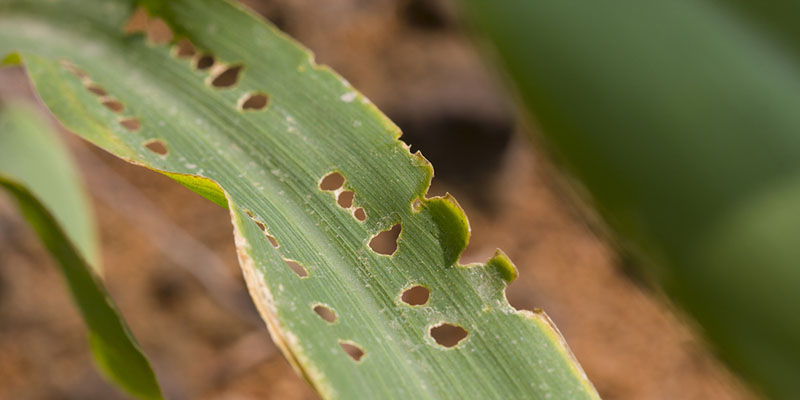 Leaf Damaged by Armyworm