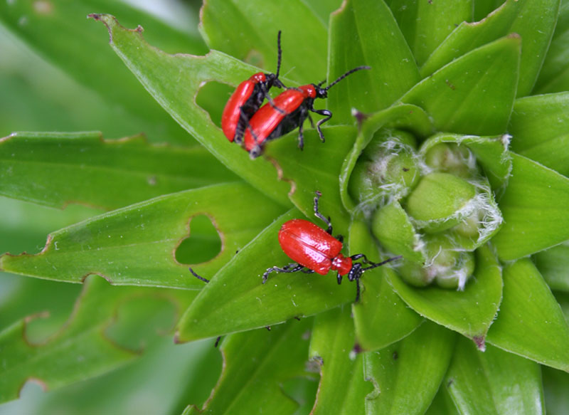 Lily Leaf Beetle Damage