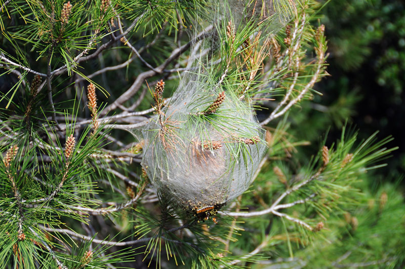 Pine Tree Infected with Bagworm