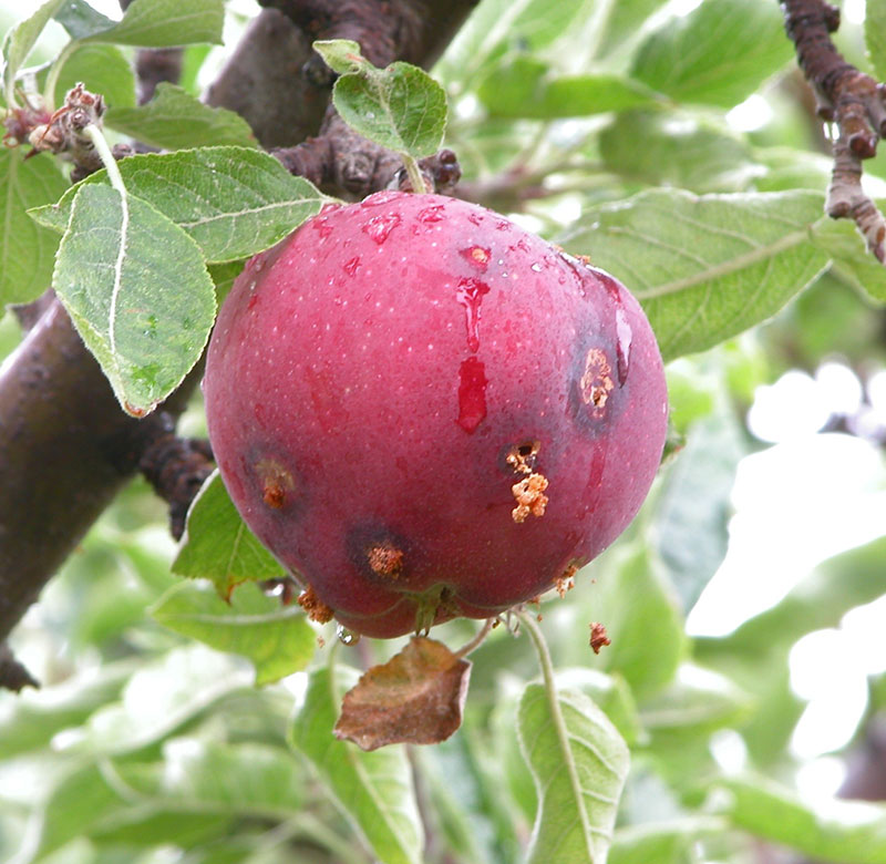 Damaged Apple
