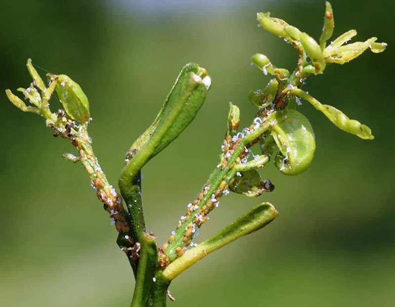 Damage to new Leaves as a Result of Feeding by Psyllid Nymphs