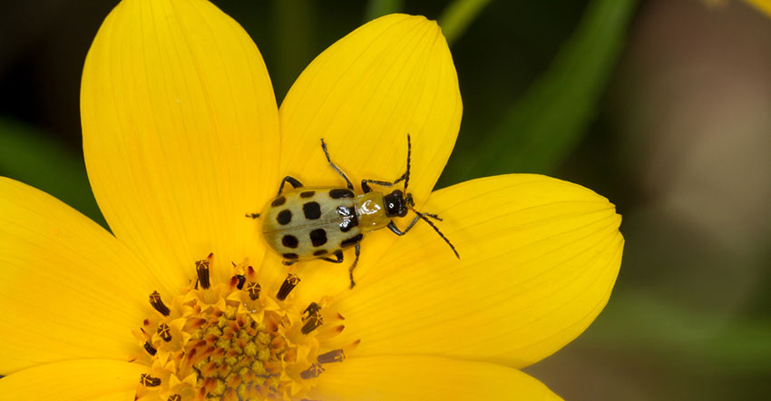 spotted cucumber beetle on flower