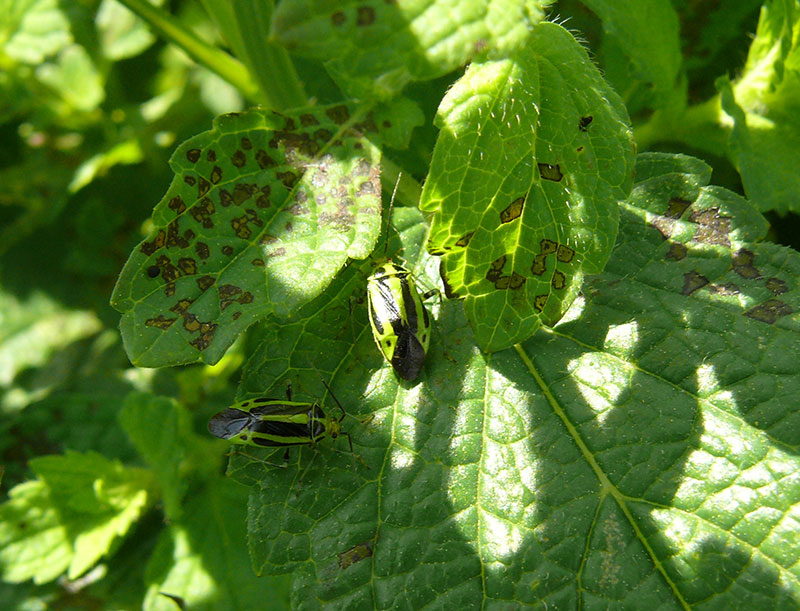 Four-Lined Plant Bugs Damage