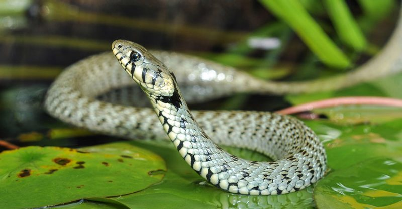 Snake Control: How to Identify, Prevent and Get Rid of Snakes