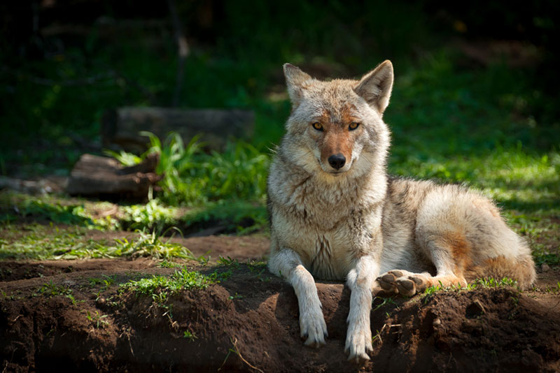 North American Coyote