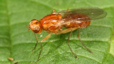 Carrot Rust Fly