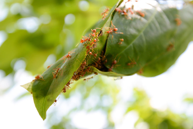 Fire Ants Damage