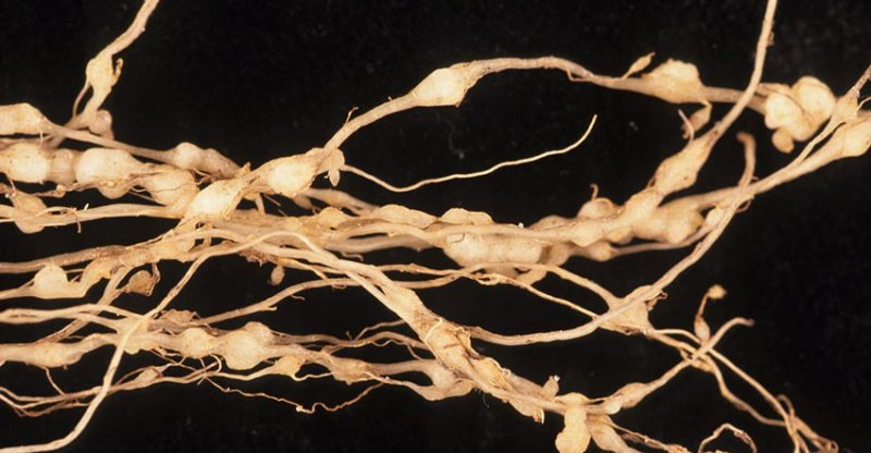 Root Knot
