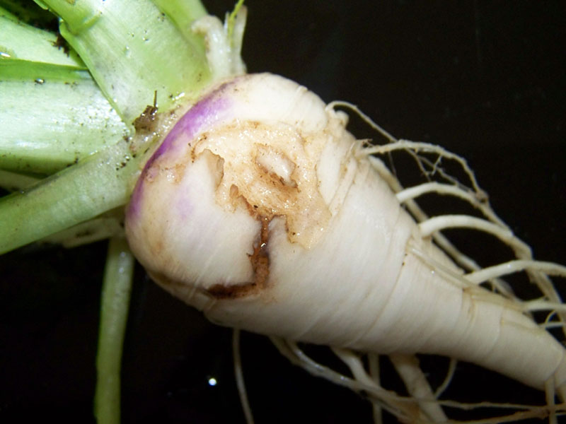 Root Maggot Damage