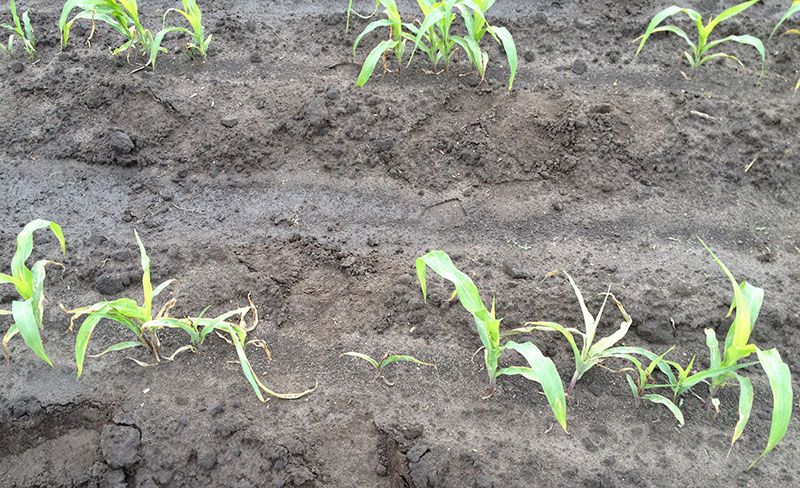 Wireworm Damage