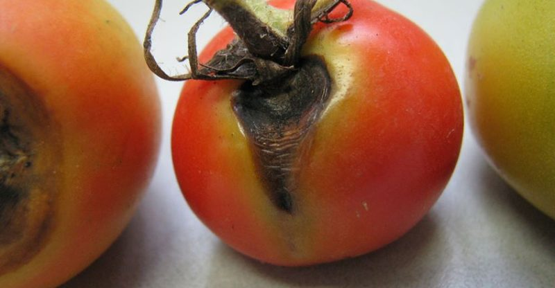 Tomato Early Blight