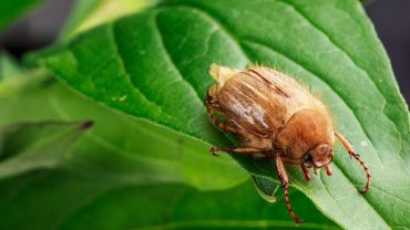 European Chafer Beetle