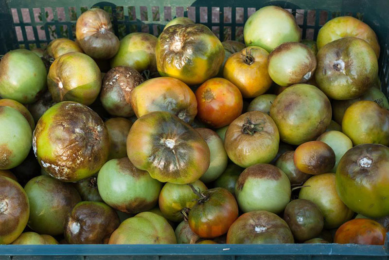 Phytophthora Fruit Rot