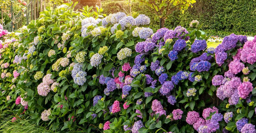 Pink and Purple Hydrangeas