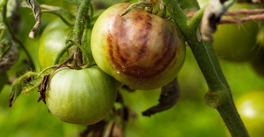 Tomato Stricken Phytophthora
