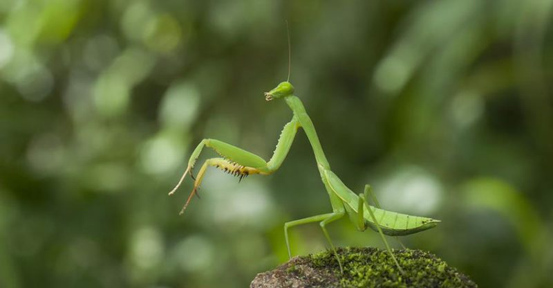 Tropical Praying Mantis