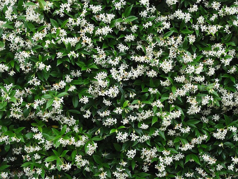 Beautiful Jasmin Flowers