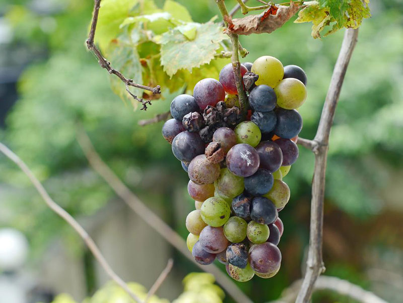 Black Grapes Bunch Rot