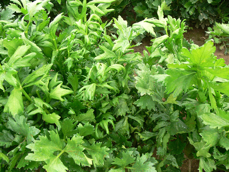 Celery Leaves Damage