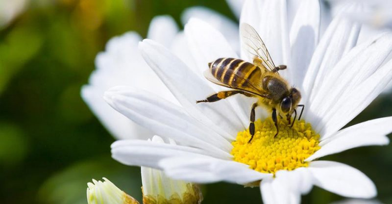 Daisy Flower and Bee