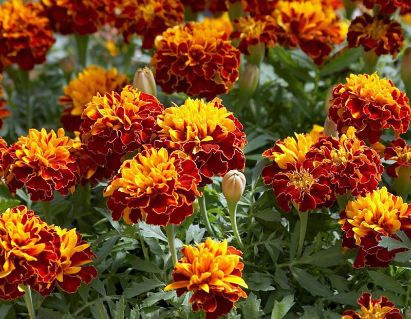 Bonanza French Marigolds