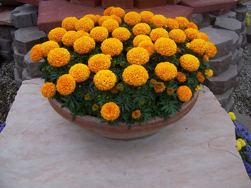 Discovery Orange Marigolds