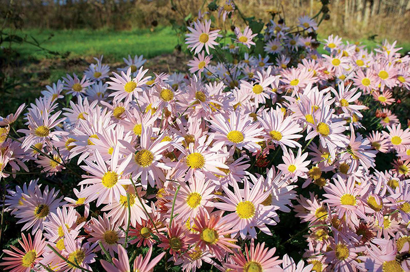 Hillside Pink Sheffield Chrysanthemum