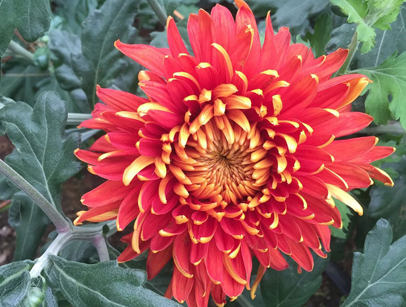 Indian Summer Chrysanthemum