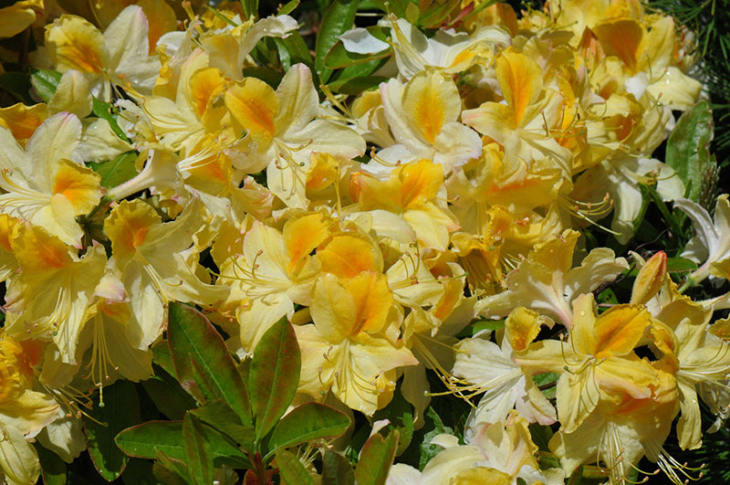 Lemon Lights Azalea