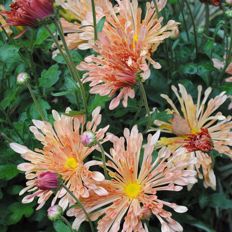 Peach Centerpiece Chrysanthemum