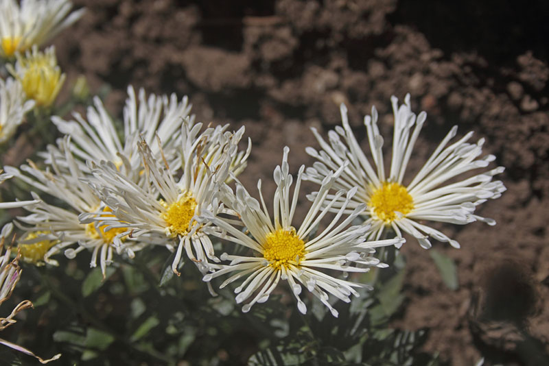Quill chrysanthemum