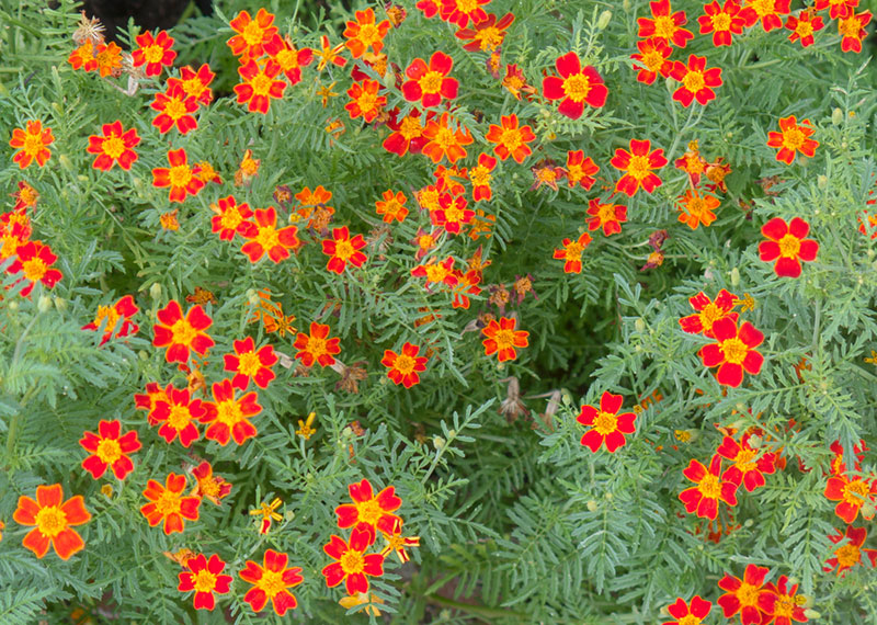 Red Gem Marigolds