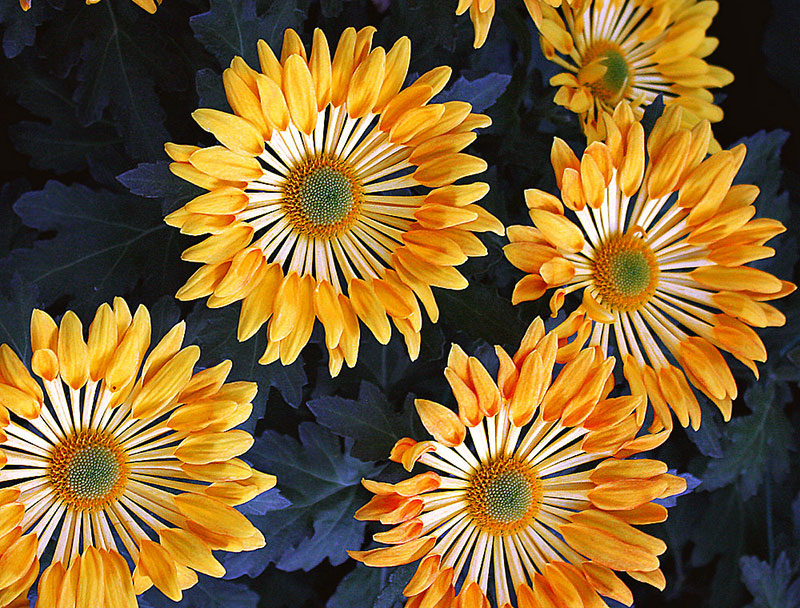 Spoon Chrysanthemum