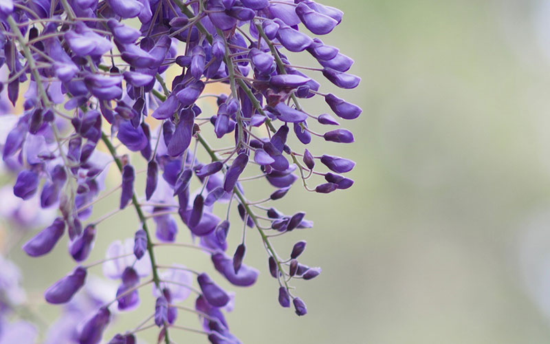 Wisteria Royal Purple