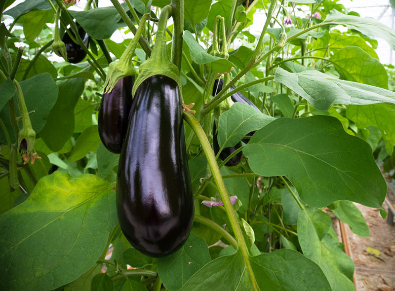 Ripe Purple Eggplant