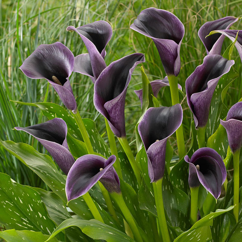 Black Star Calla Lily