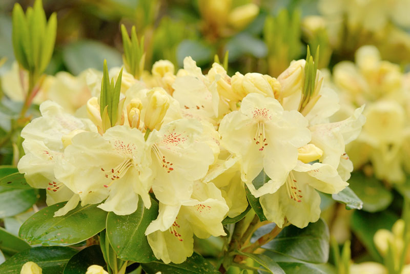 Chikor Rhododendron