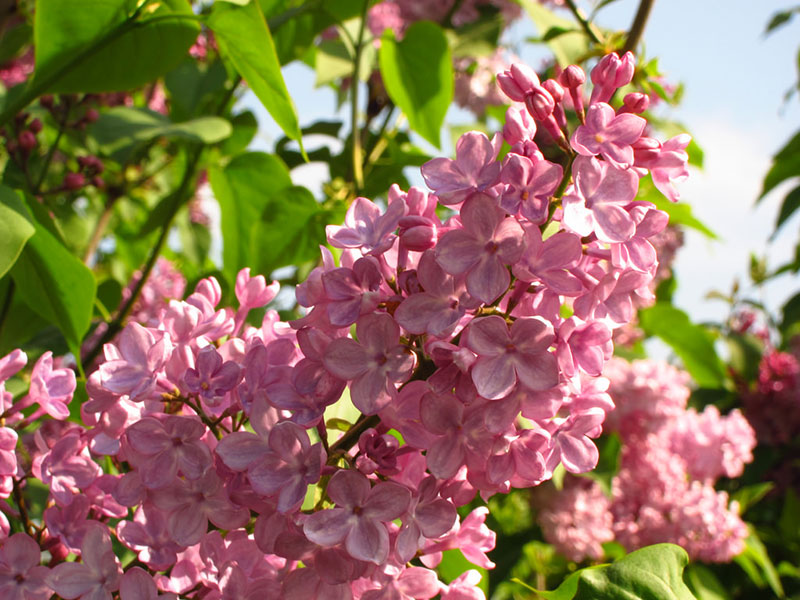 Esther Staley Lilac