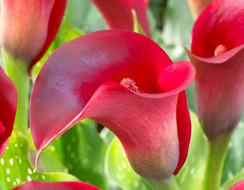 Fire Dancer Calla Lily