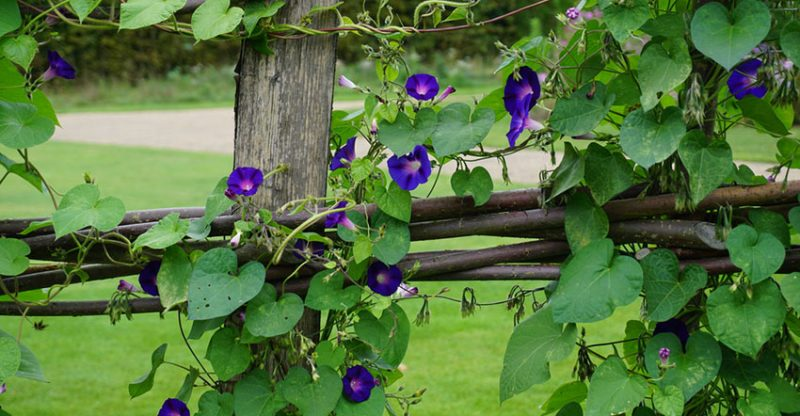 Everything About Morning Glories How To Plant Grow And Care For Them