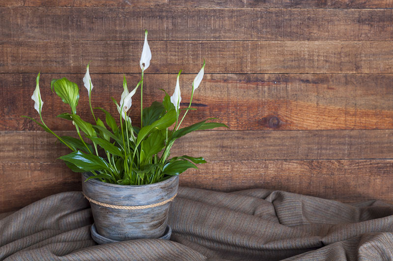 Updated How To Plant Grow And Care For Calla Lilies Homyden